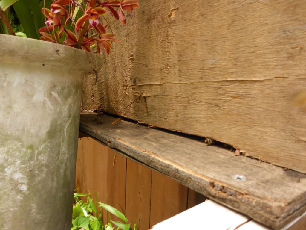 自作の巣箱に入ってきた日本ミツバチ