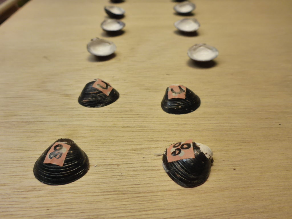 シジミの内側に番号か記号をつけて、お互いの貝が入れ違わないようにします。