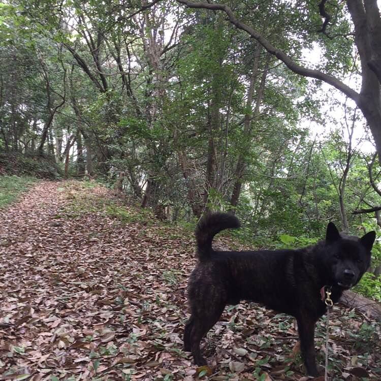甲斐犬と散歩中。