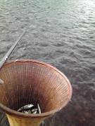 大野川で釣れたハヤ